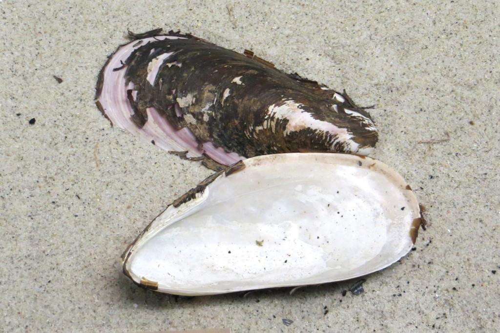 mussel nat hist